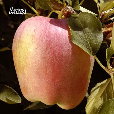Anna apple single fruit