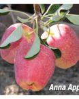 anna apple tree fruit