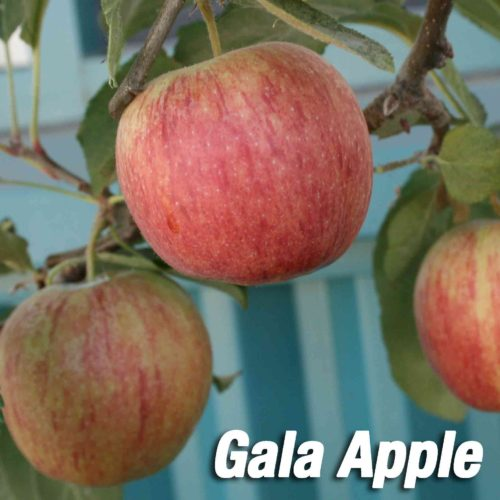 gala apple tree fruit