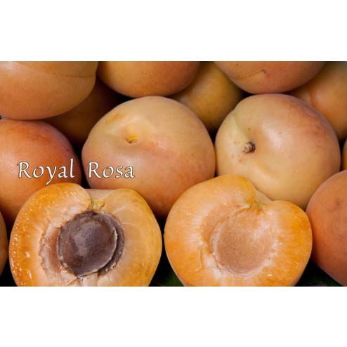 Royal Rosa Apricot