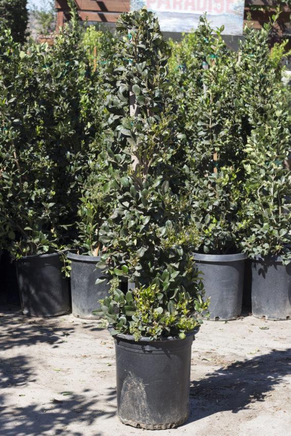 Ligustrum Japonicum Texanum Wax Leaf Privet For Sale