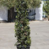 Ligustrum Wax Privet