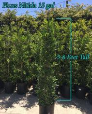 Ficus Nitida 15 gal