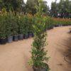 15 gallon Ficus Nitida Hedge