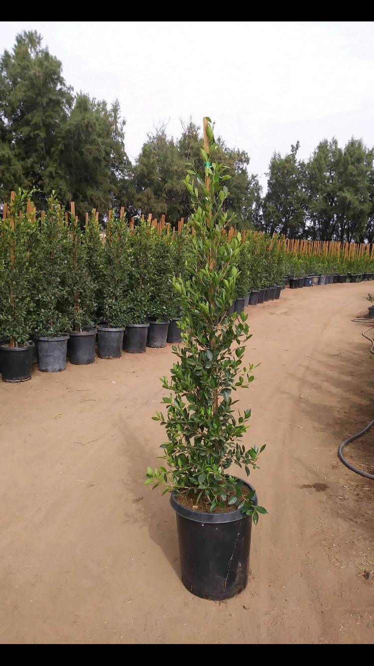 Ficus Nitida Indian Laurel Plants For Sale 5 Gal 15