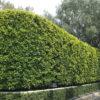 Hedge of Ficus Nitida