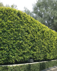 Ficus-Nitida-Hedge