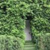 Ficus nitida hedge privacy around door