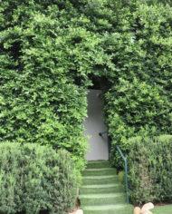 ficus nitida hedge surrounds doorway