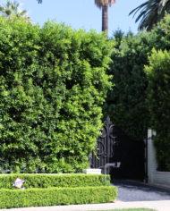 Ficus nitida hedge at driveway