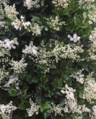 ligustrum japonicum texanum flowers up close