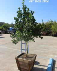 Key Lime tree 24 Box