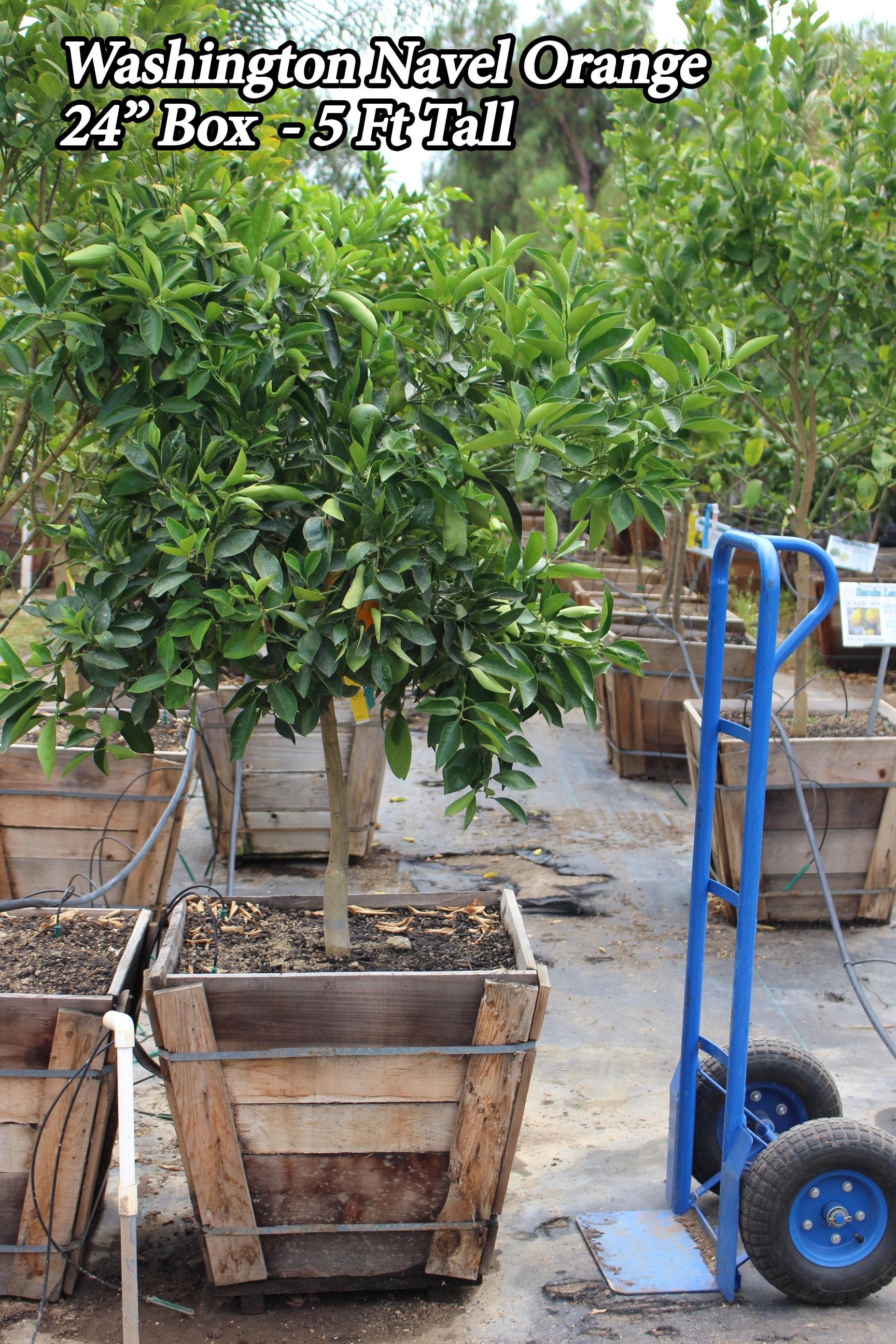 Washington Navel Orange Tree For Sale In Los Angeles