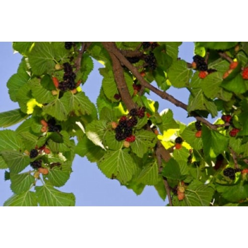 Persian Mulberry Tree Shahtoot For