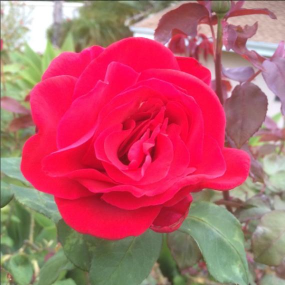 Red Fragrant Rose