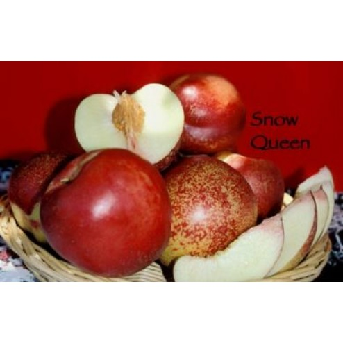 SNOW QUEEN NECTARINE