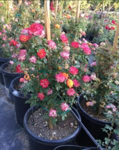 7 color minature rose