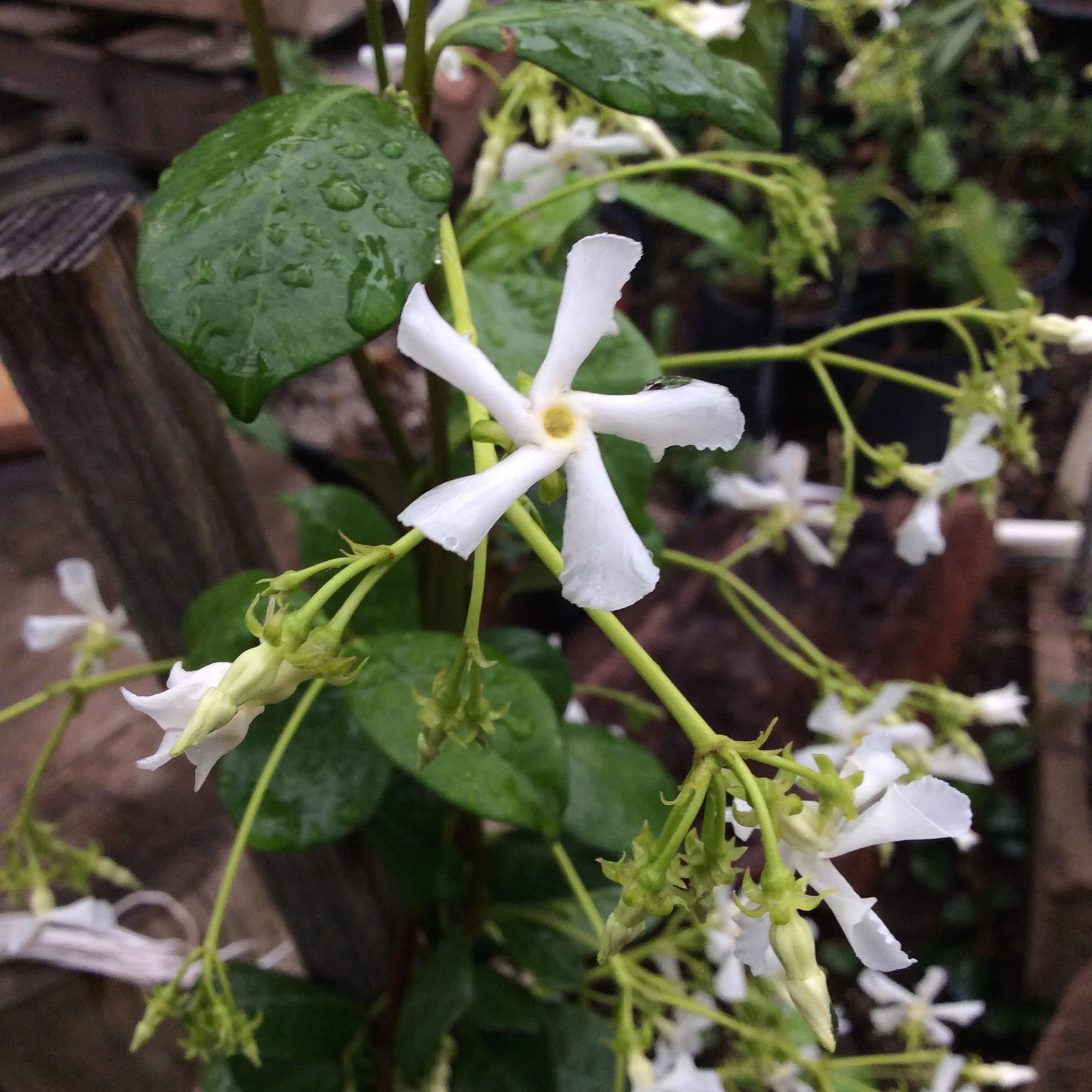 Star Jasmine Plants