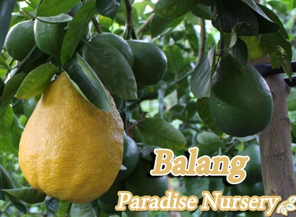 balang-fruit-tree