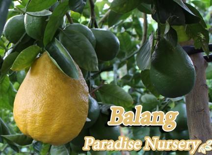 balang-fruit-tree