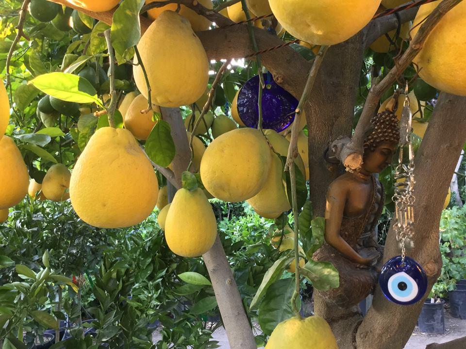 balang fruits citron