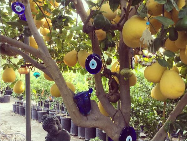 citron balang