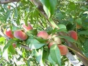 doughnut_peach_fruit_1