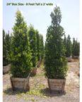 "Ficus Nitida 24"" box plant"