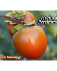 hachiya persimmon fruit