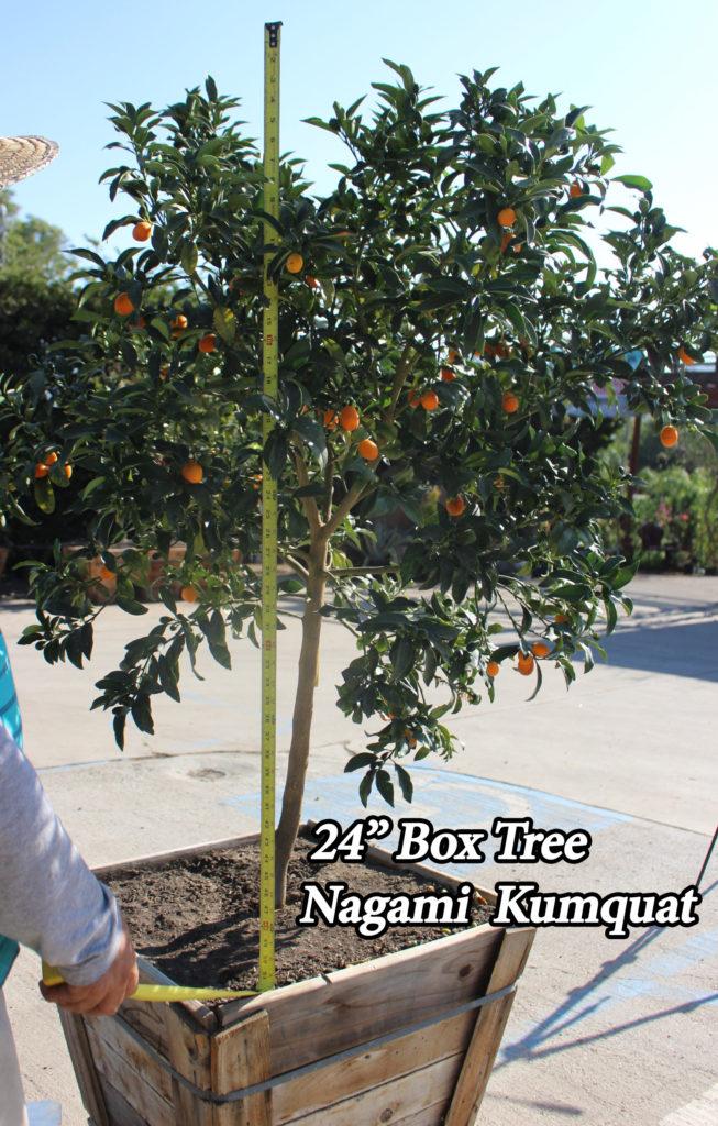 Kumquat 24 Box Tree Paradise Nursery