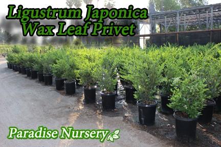 Ligustrum japonicum 'Texanum' ligustrum texana wax leaf privet
