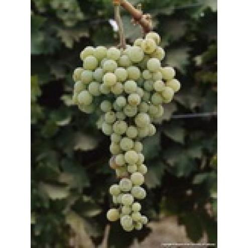 Muscat of Alexandria Grape