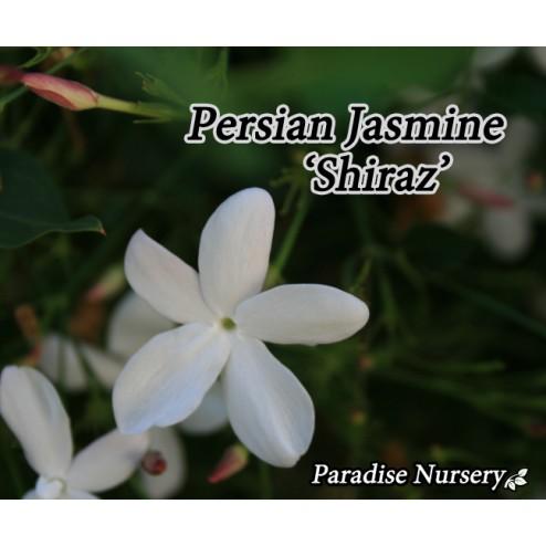 buy persian jasmine yas shiraz los angeles