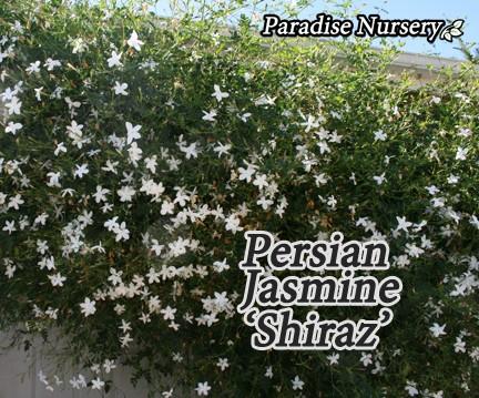 persian-jasmines-yas-web