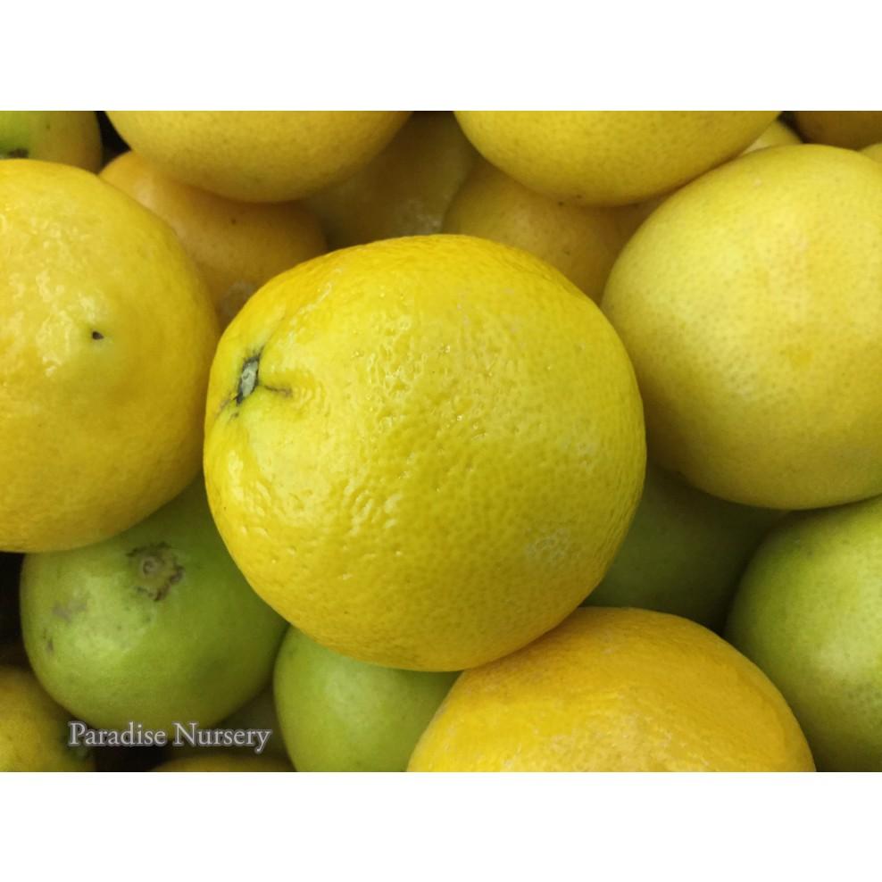 Persian Sweet Lemon From Paradise Nursery in Los Angeles
