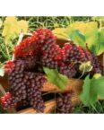 ruby seedless grape