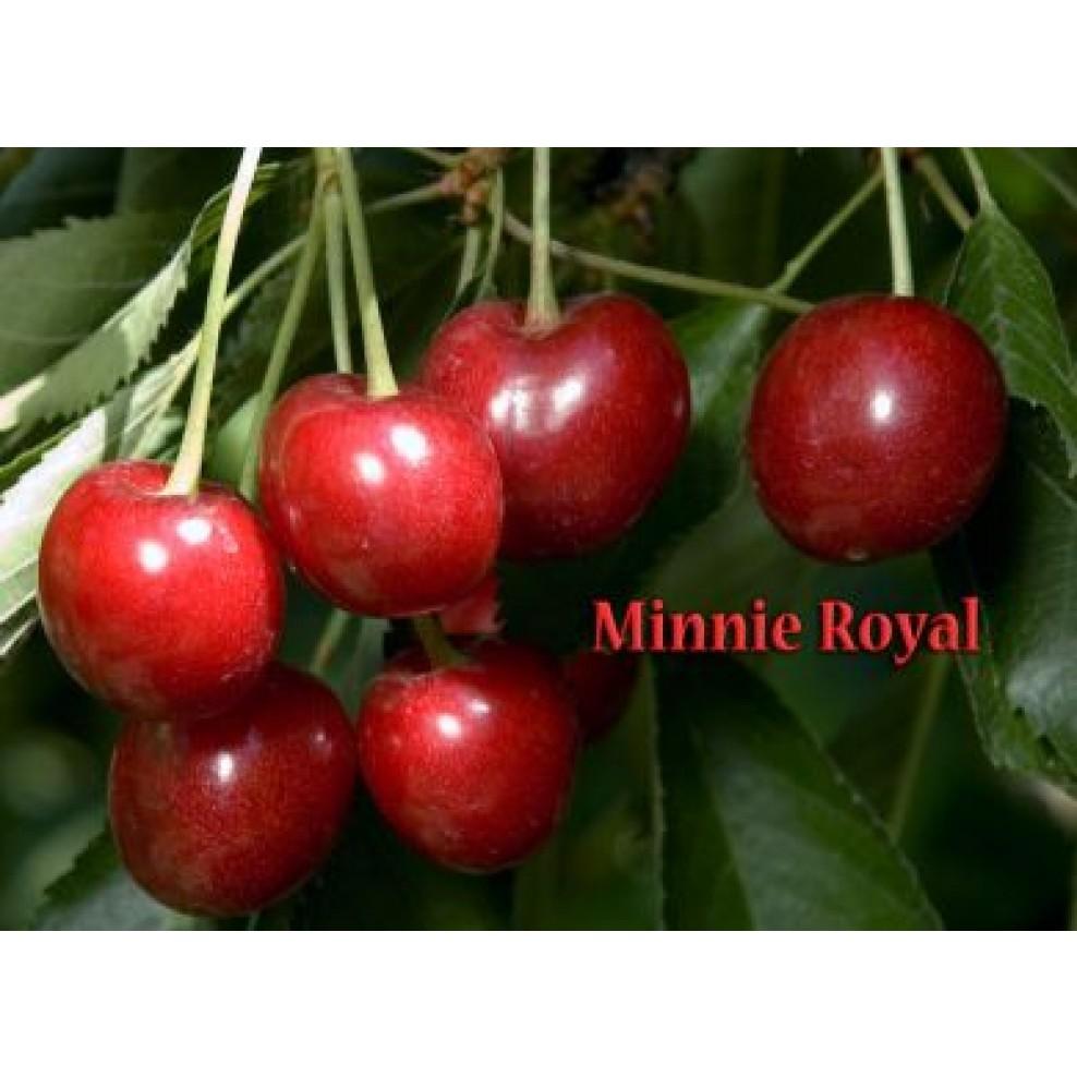 minnie royal cherry