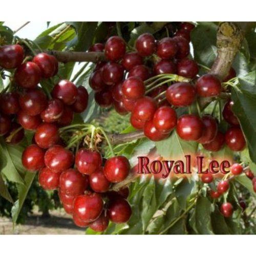 royal lee cherry tree