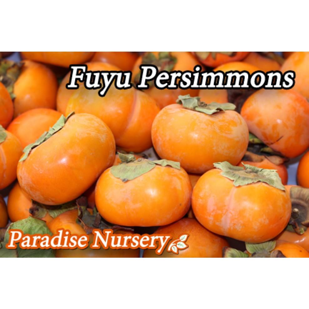 Fuyu Persimmon | Persi... Fuyu Persimmons