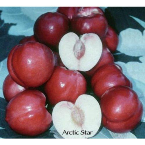 Arctic Star White Nectarine