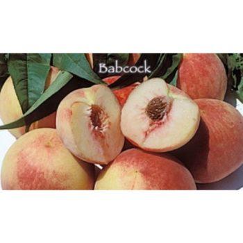 babcock peach