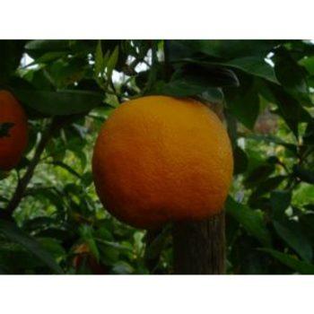 Sour Orange Tree Naranj Shiraz نارنج