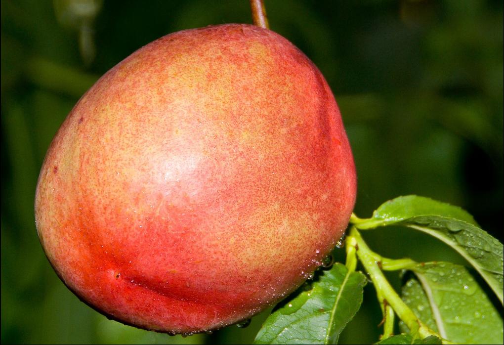 arctic_fantasy_nectarine_fruit
