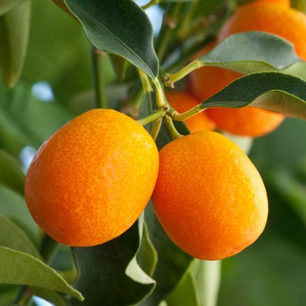 Meiwa Kumquat Tree At Paradise Nursery In Los Angeles