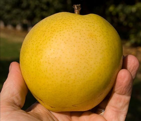 Monterey pear tree