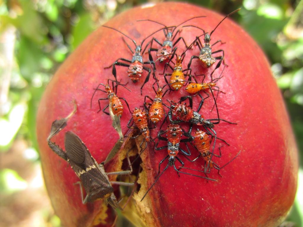 Leaf Footed Bug Paradise Nursery