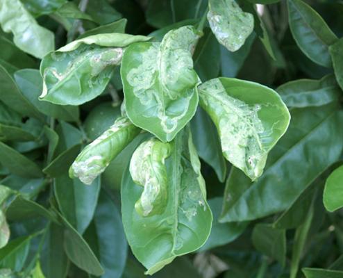 Citrus leafminer pest