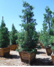 36 podocarpus gracilior (6)
