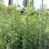 Afrocarpus gracilior (Podocarpus) Yew Pine 15 gallon