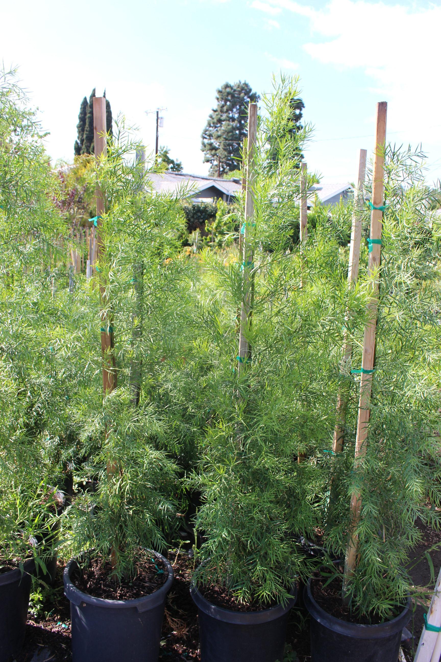Podocarpus Gracilior 15 Gallon